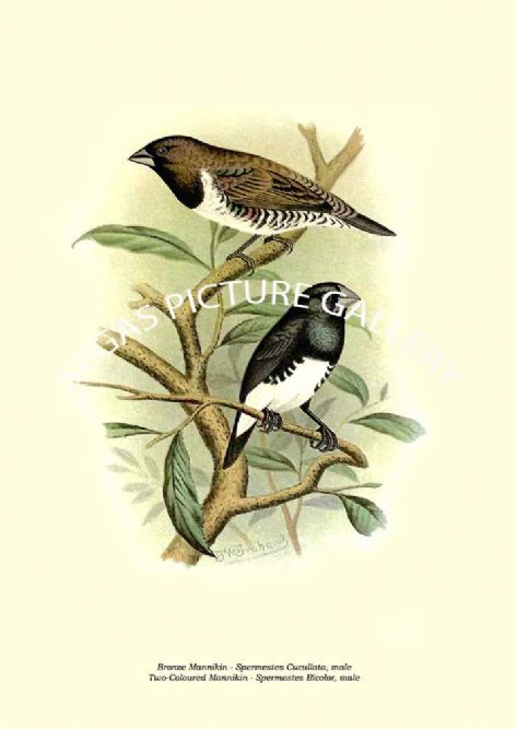 Fine art print of the Bronze Mannikin - Spermestes Cucullata, male, Two-Coloured Mannikin - Spermestes Bicolor, male by the Artist Frederick William Frohawk (1899)